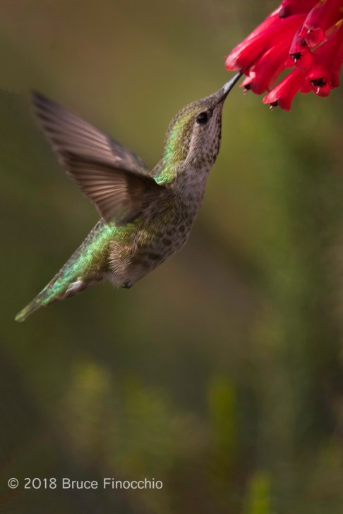 Female Anna's Hummingbird Sips Nectar From Santa Cruz Scarlet Cape Heath