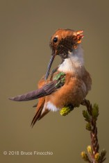 Male Allen's Hummingbird Preens Feathers While Perched
