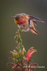 Male Allen's Hummingbird Stretches Wings While Perched On Erica
