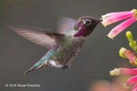 Male Anna's Hummingbird Feeding On The Nectar From A Cape Heath Blossom