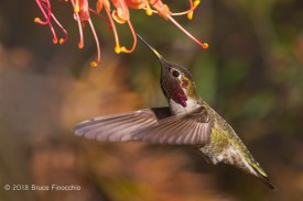 Yellow Pollen On A Male Anna's Hummingbird's Beak From Grevillea Blossoms