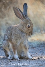 A Cottontail Rabbit Begins To Move Body To Groom It's Fur