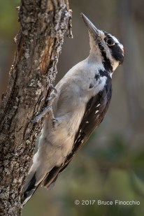 A Male Hairy Woodpecker Clings To A Oak Branch