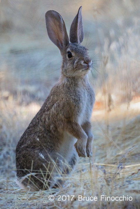 Desert Cottontail Rabbit Stands On Its Hind Feet To Get A Better View In The Dried Grass Of Summer