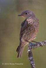 Juvenile Western Bluebird On A Lichen Covered Blue Oak Branch