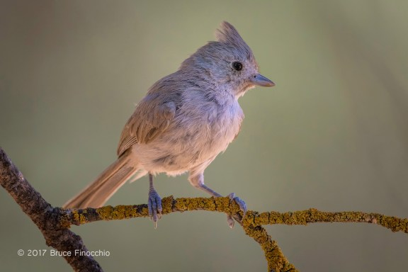 Oak Titmouse With Crest Feathers Raised