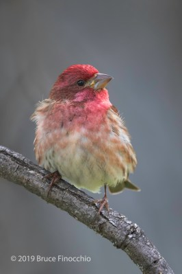 A Vertical Portrait Of A Male Purple Finch Looking Up
