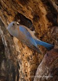 Female Western Bluebird At Nest Cavity Entrance With A Insect In Beak