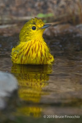 Male Yellow Warbler Bathing In A Small Pond With Reflection