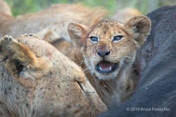 Trapped Lion Cub Within A Buffalo Carcass Feeding Frenzy