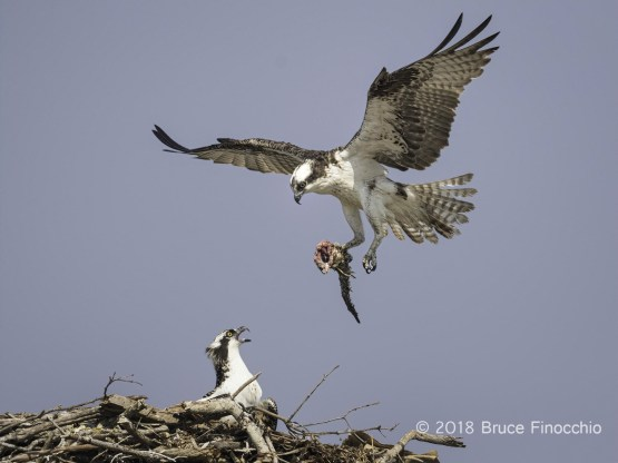 Adult Osprey Breaks Partial Fish To Nest As Waiting Juvenile Cries Out