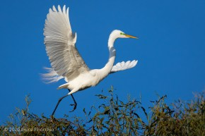 Great Egret Scampers Across The Top Of A Nesting Eucalyptus Tree