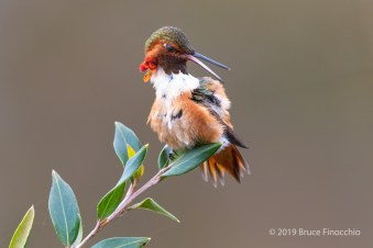 Male Allen's Hummingbird Uses Nictitating Membrane To Protect Its Eyes As It Grooms Feathers