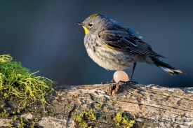 Young Female Yellow-rumped Warbler Minutes After Laying Her Firs