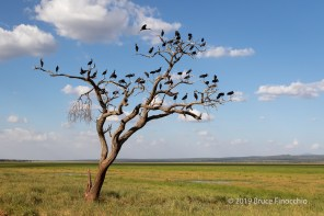 African Open-billed Storks Roosting In A Dead Umbrella Thorn Tree At The Edge Of The Silale Swamp