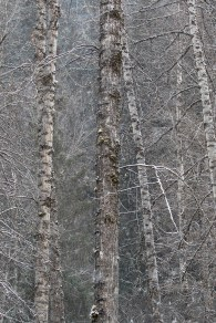 Tree Trunks and Naked Branches