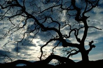 Winter Sky Against an Oak Tree