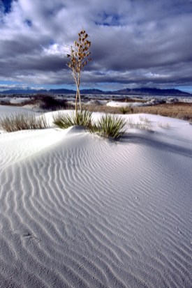 Yucca Among the White Sands