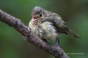 Hutton's Vireo Calls Out After Bathing