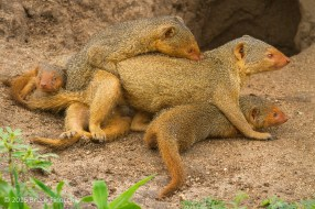 The Entire Dwarf Mongoose Family Involved In The Mating Process