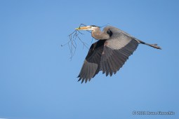 A Great Blue Heron Carries Sticks Back To The Nest During Nest Building Time