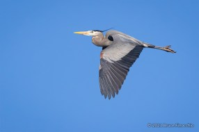 A Portrait Of A Flying Great Blue Heron