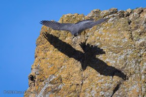 Female Peregrine Falcon Casts A Shadow On A Cliff Face As She Leaves Her Perch