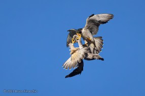 Female Peregrine Falcon Turns Upside Down To Grab Food From Male Peregrine As He Holds It In His Beak