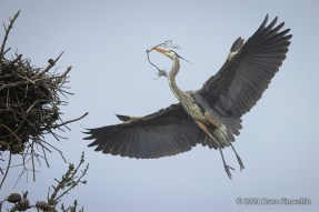 Great Blue Heron Bringing A Branch In Its Beak To Add To Nest