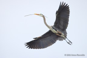 Great Blue Heron Flying Back To The Nest With A Stick In Its Beak