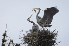 Male Great Blue Heron Offers Eucalyptus Leaves To Female To Strengthen Courtship Bond