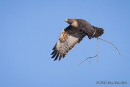 Red-tailed Hawk In Flight With Stick In Its Talons For Nest Building