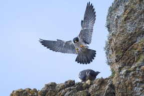 With Wings Spread Wide, A Male Peregrine Falcon Comes Down To Mate With Female Peregrine Falcon