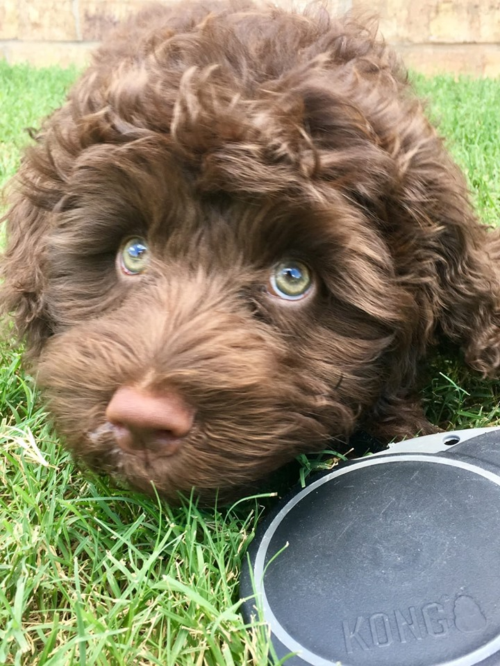 Portuguese Water Dog Brown And White : portuguese, water, brown, white, Dreamcatcher, Portuguese, Water, Journey, Hobby, Breeders!