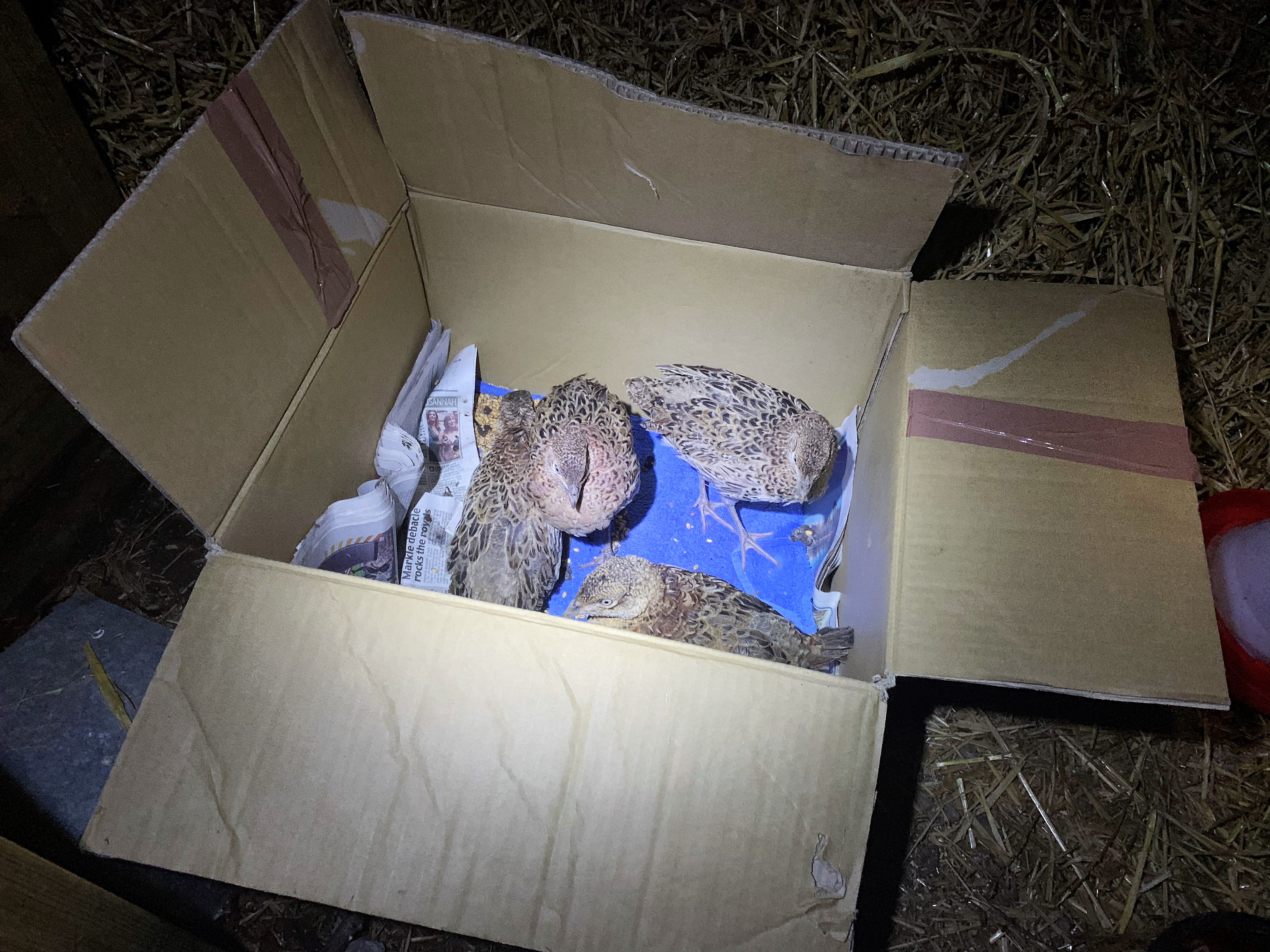 The pheasants go free …
