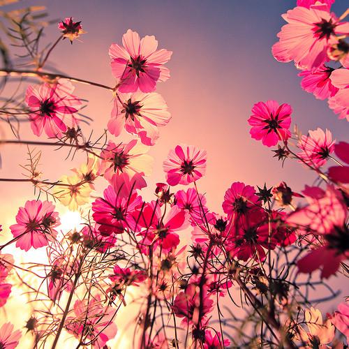 ivsv_pink-flowers