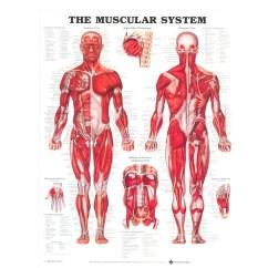 Muscular System Diagram Worksheet Ka24de Wiring Allen Bruce Chapter 6 7