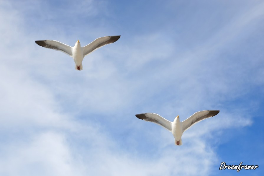 Pair of Seagulls - ©Dreamframer