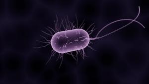 lettuce and E. coli