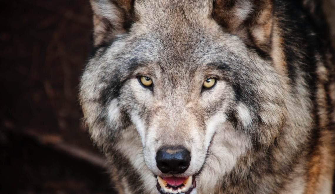 Wild Wolf Photos