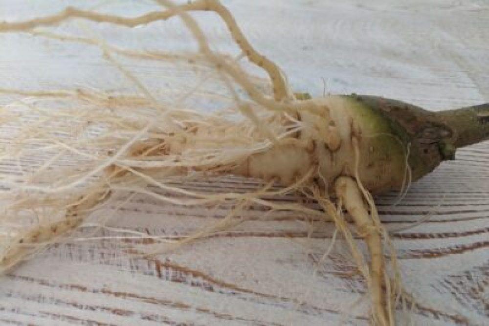 Datura root