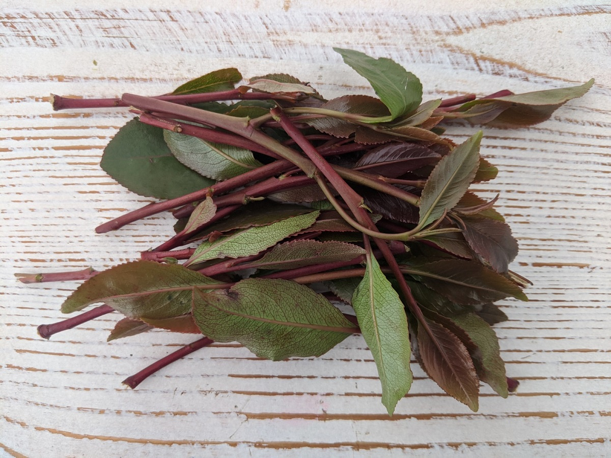 Khat leaves (Catha edulis)