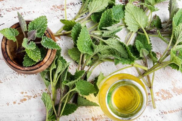 Lemon Balm for Sleep (Melissa officinalis)