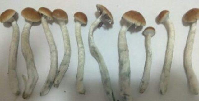 Psilocybe mexicana (Mexican Magic Mushrooms)