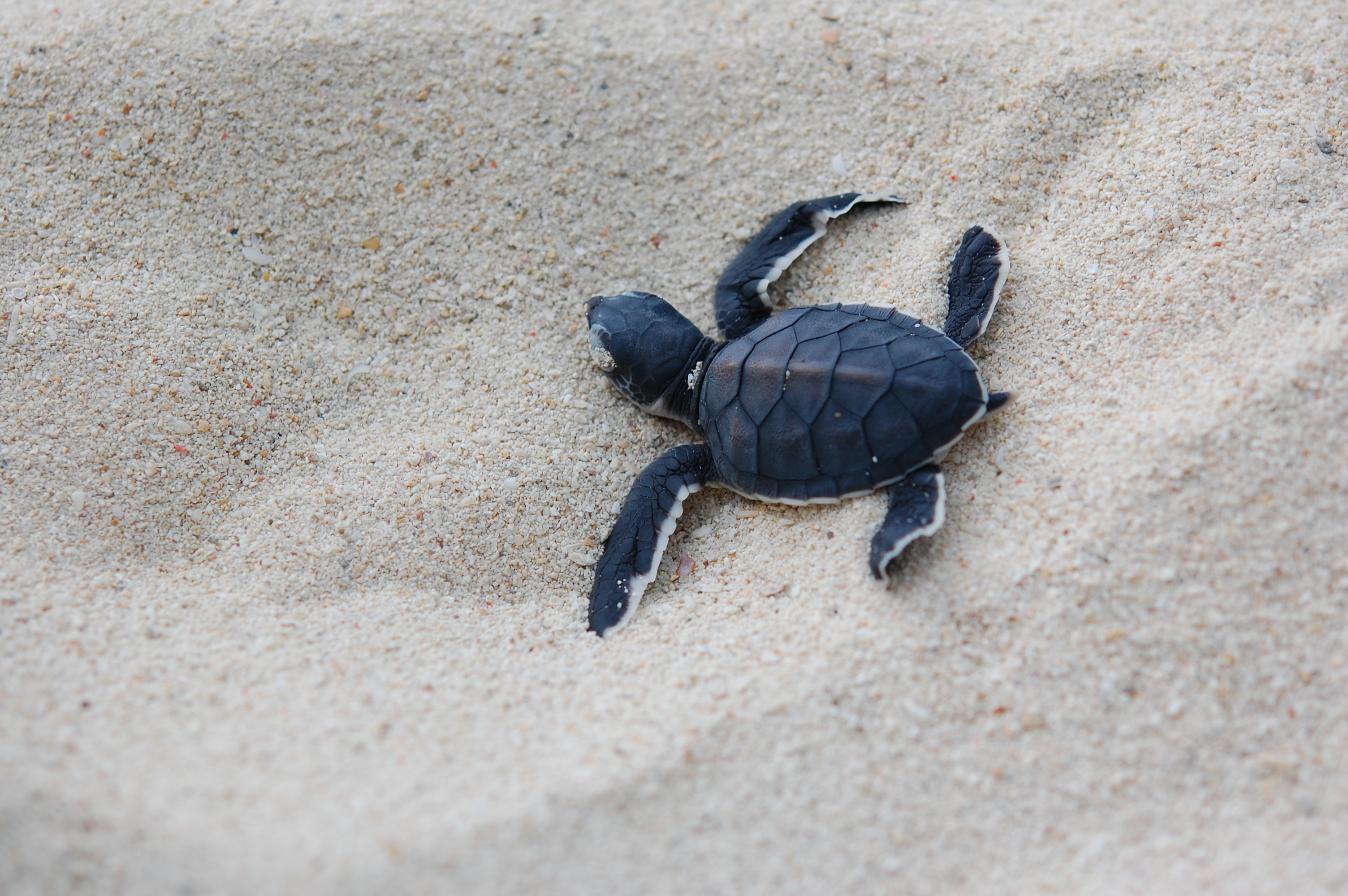 turtle's first steps to the sea