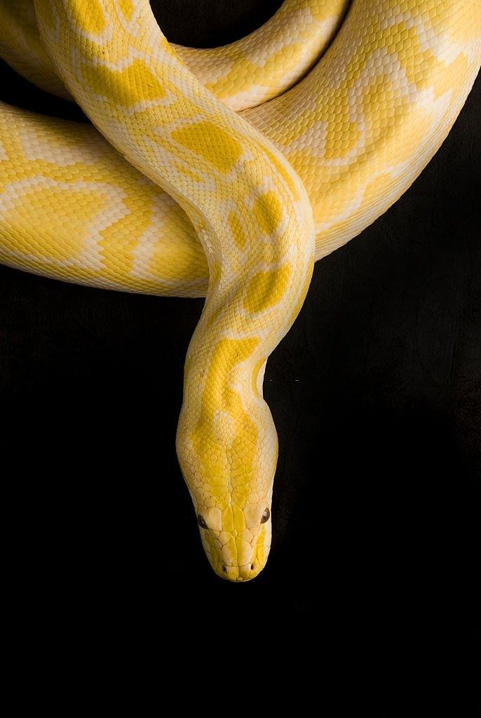 Rever De Tuer Un Serpent : rever, serpent, Serpent, Signification, Symbolisme, Rêves, InterpretationReve