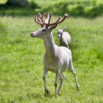Czech Republic - white deer in the park at the castle Zleby
