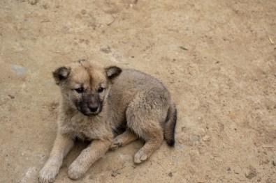 Sapa Baby Dog