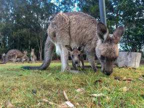 Kangaroo and Little Kangaroo