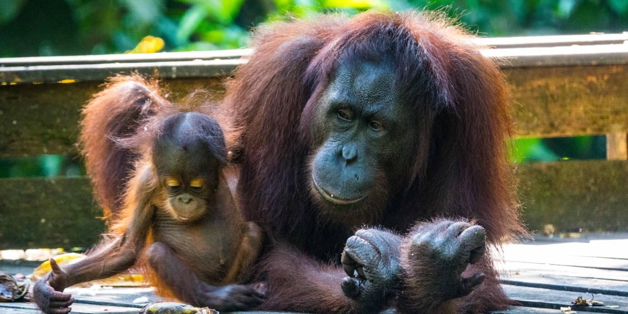 Palmölplantagen soweit das Auge reicht (Borneo, Malaysia)